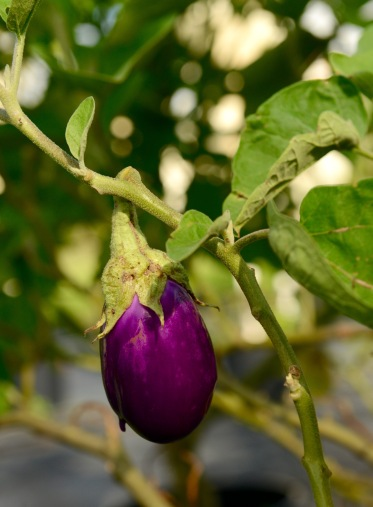 Baby eggplant at the farm